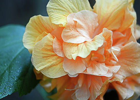 Connie Fox - Peachy Yellow. Ruffled Hibiscus Macro