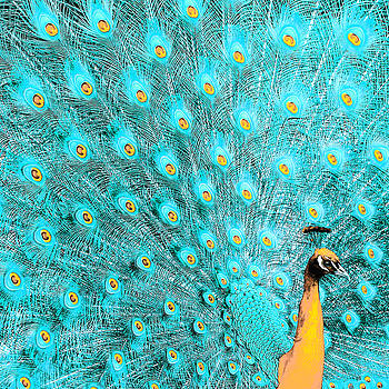 Peacock 1 by Alicia Zimmerman