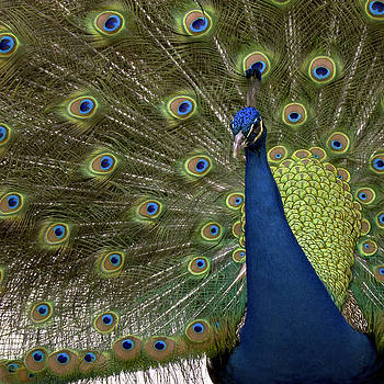 Peacock at Mayfield Park by Billy Stovall