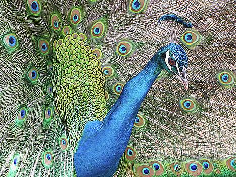 Peacock by Bob Slitzan