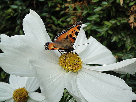 Peacock Butterfly On Cosmos by Susan Baker