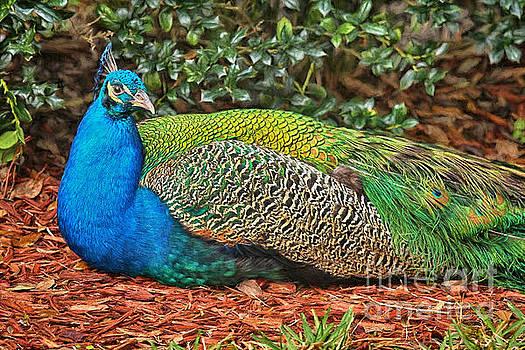 Deborah Benoit - Peacock Colors