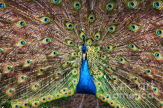 Barbara McMahon - Peacock Courtship