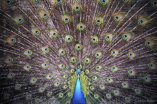 Peacock Courtship Display by Melissa Bittinger