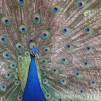 Peacock Dance by Steph Maxson