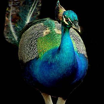 Peacock by David Weeks