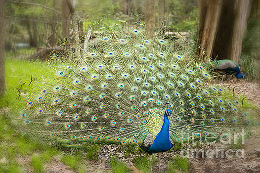 Peacock Displaying His Feathers by Bonnie Barry