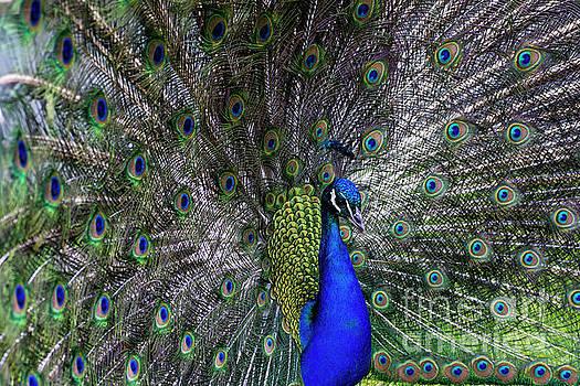 Peacock Eyes by Anna Wisniewska