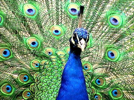 Toon De Zwart - Peacock eyes