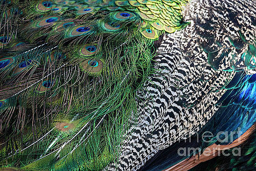 Peacock Feather Detail Background by Brandon Alms