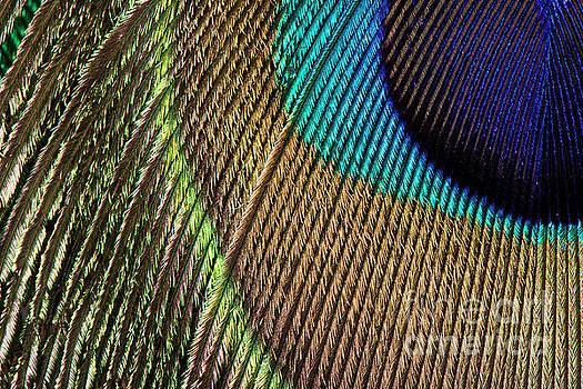 Peacock Feather Macro by Jason Kolenda