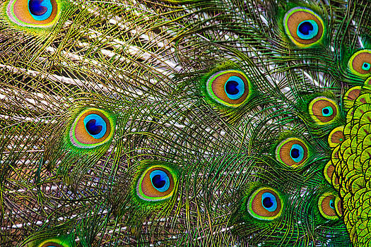 Peacock Feathers by Dan Lease
