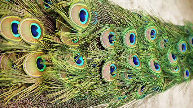Peacock Feathers by Dustin K Ryan