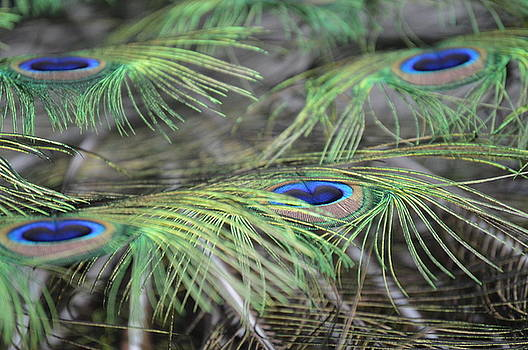 Peacock Feathers by Judith Morris
