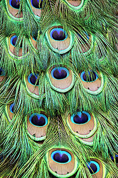 Peggy Collins - Peacock  Feathers