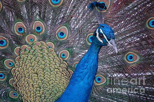Peacock by Frank Stallone