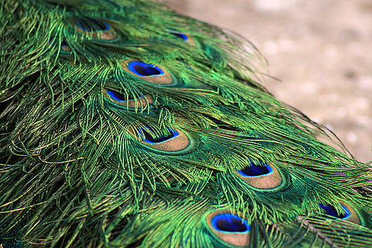 Peacock Glamour by Marjohn Riney