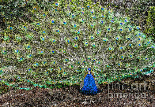 Peacock  by Jeff Breiman