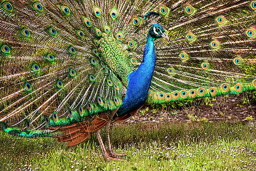 Peggy Collins - Peacock in Beacon Hill Park