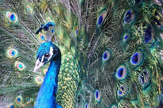 Peacock by Julia Ivanovna Willhite