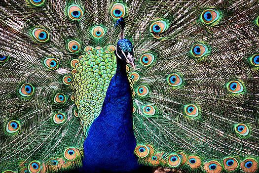 Karen Scovill - Peacock