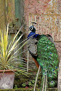 Peacock by Kasia Blaszczyk
