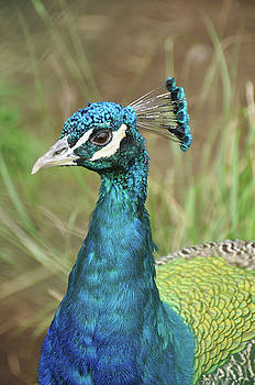 Peacock by Kathy Schumann