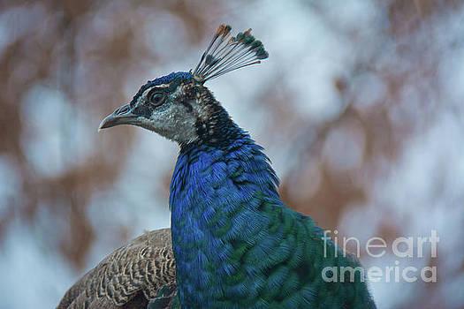 Peacock II by Lisa L Silva