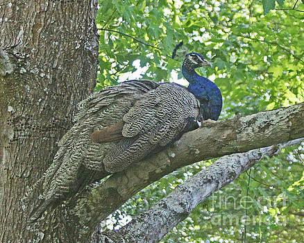 Peacock Roosting by Dodie Ulery