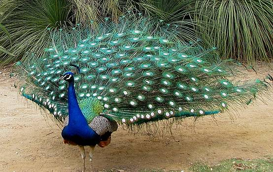 Peacock Showing All Feathers by Patricia Barmatz