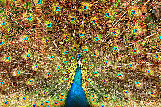 Patricia Hofmeester - Peacock showing its feathers XL
