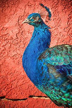 Cynthia Traun - Peacock Strut