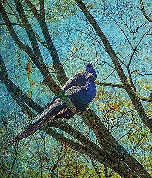 Peacocks in Tree by John Rivera