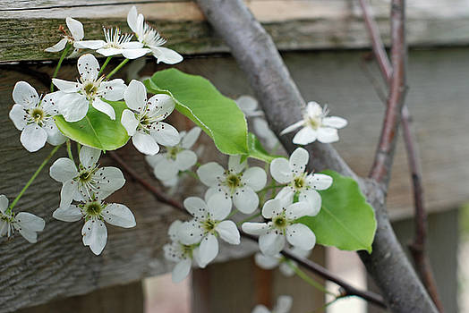 Pear Blossom by Lisa Gabrius