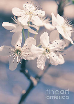Pear Blossoms 4 by Andrea Anderegg