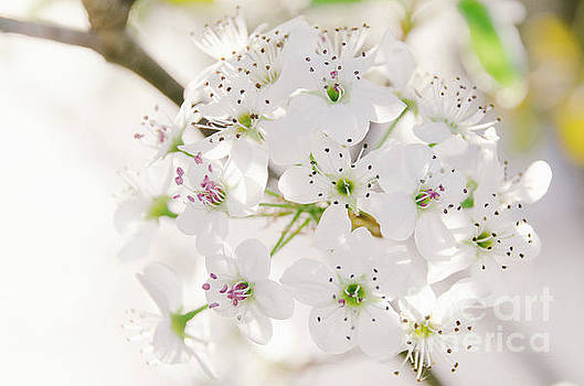 Pear Blossoms 5 by Andrea Anderegg