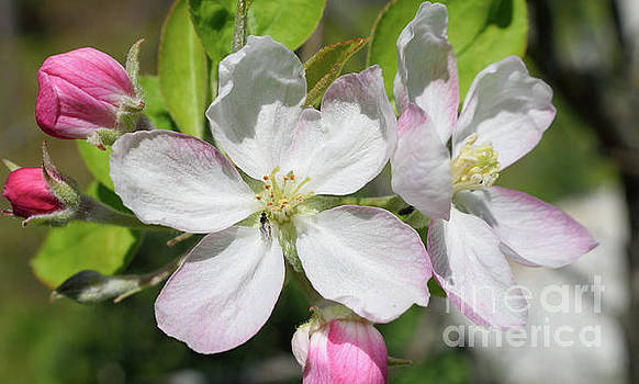 Pear Blossoms by Renee Olson
