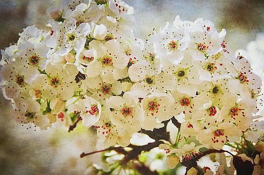 Pear Tree Blossoms   by Flying Z Photography by Zayne Diamond
