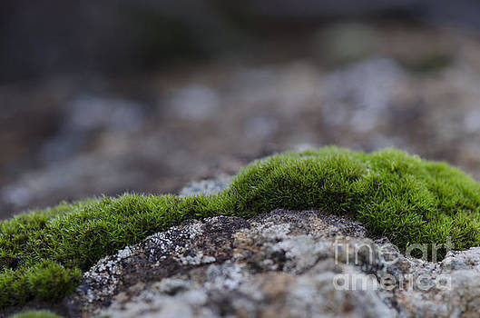 Peat moss, Clump of moss, Sphagnum, on rock underground. by Perry Van Munster
