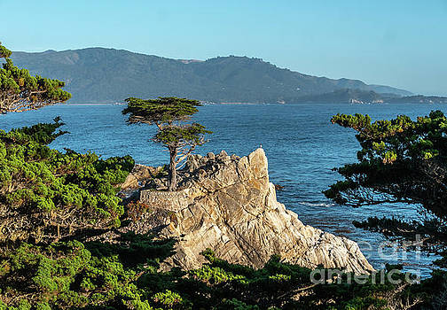 Pebble Beach Iconic TRee With Sun Light at Dusk by PorqueNo Studios