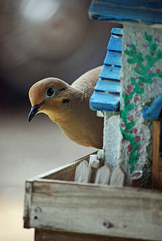 Michelle  BarlondSmith - Peek a Boo Mourning Dove