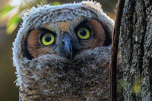 Peeking Owlet by Allen Ahner