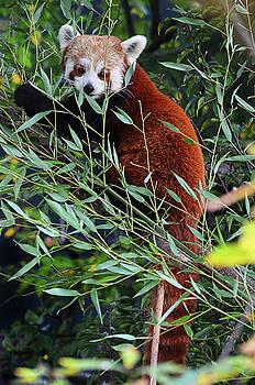 Spade Photo - Peeking Panda