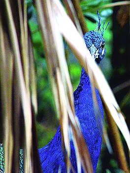 Spade Photo - Peeking Peacock