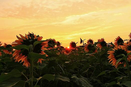 Peeking Throught the Sunflowers by Catie Canetti