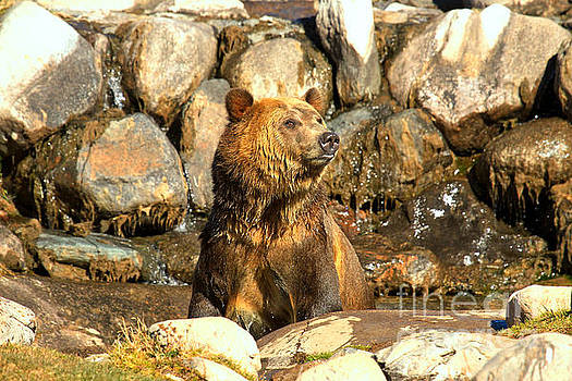Adam Jewell - Peeping Grizzly