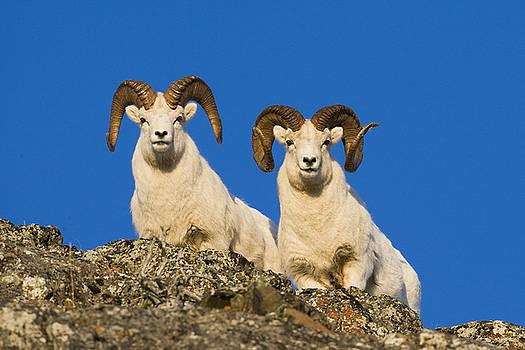 Tim Grams - Peering Rams