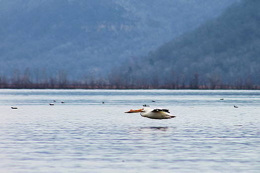 Pelican  by Bethany Benike