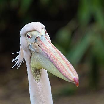 Pelican Closeup by Matt Malloy