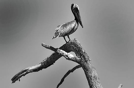 Pelican by Dave Doumis